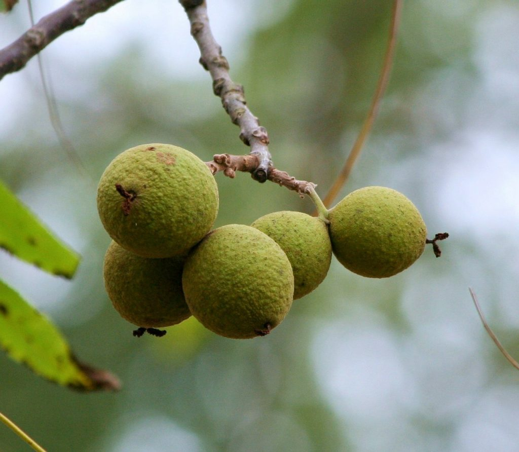 Tincture on walnut septums (on moonshine): cooking at home, use