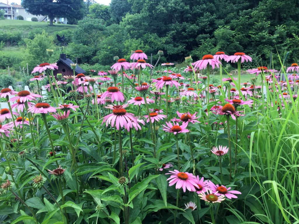 Learn how to make an immune boosting Echinacea Tincture & Throat Spray to prepare for the cold & flu season. Easy, DIY instructions using fresh or dried echinacea root.