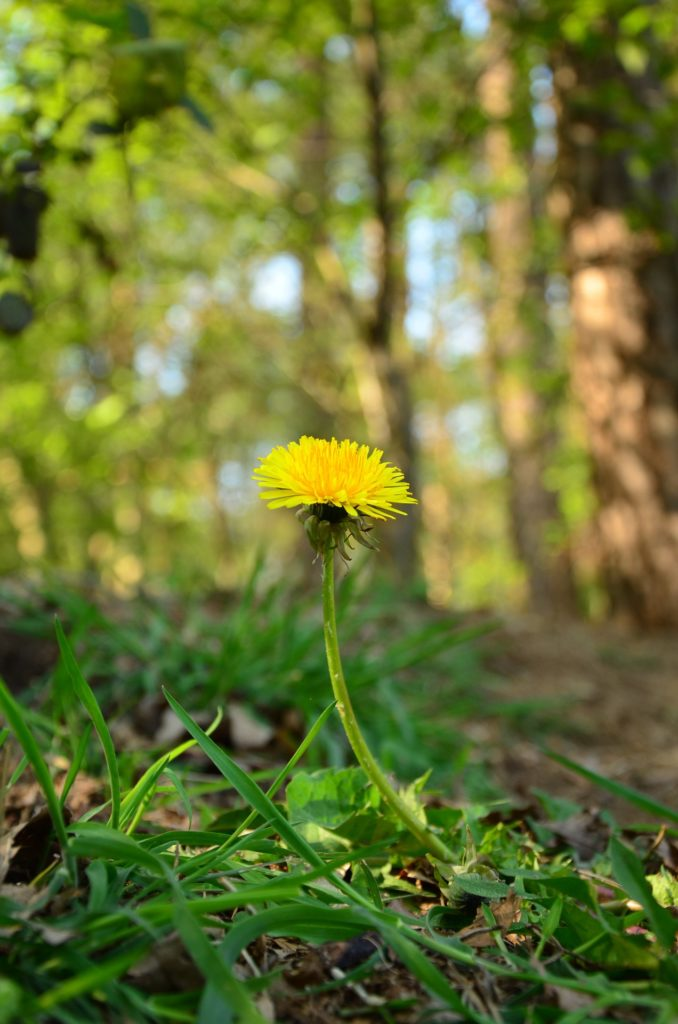 Spring Foraging for Wild Edibles -- What I Found in My Backyard   My Healthy Homemade Life