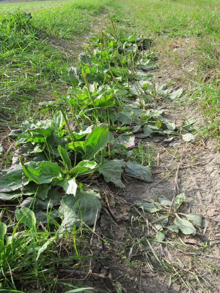 Spring Foraging: 5 Ways to Use Plantain - My Healthy ...